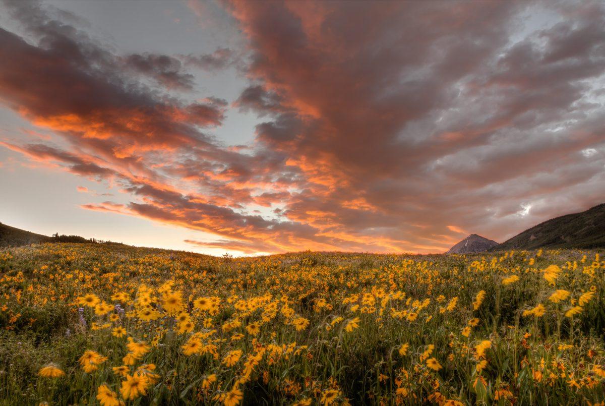Sunflower_Sunrise_final (1)
